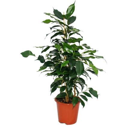 """Exotic heart - weeping fig - Ficus """"Danielle"""" - dark green leaves - 1 plant - easy to care for - air purifying - 12cm pot"""