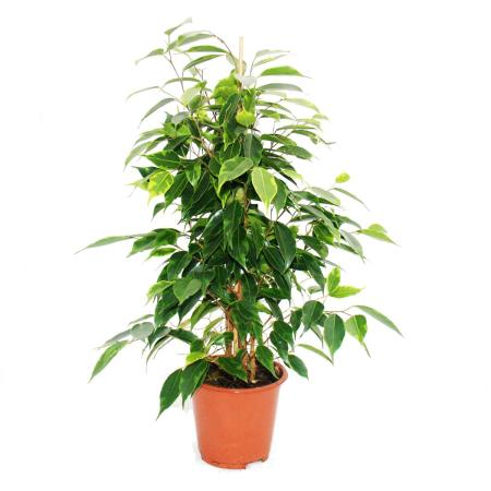 """Exotic heart - weeping fig - Ficus """"Anastasia"""" - light green leaves - 1 plant - easy to care for - air purifying - 12cm pot"""