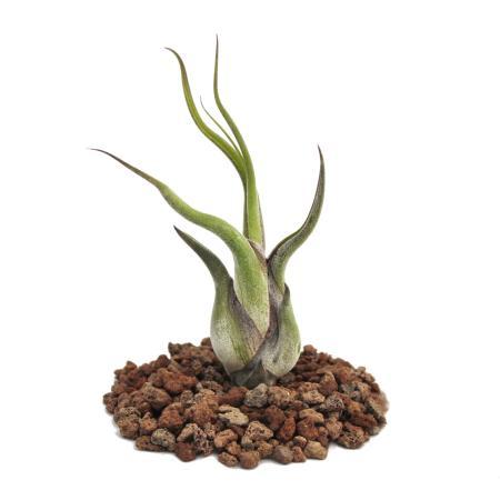 Tillandsia caput-medusae - loose plant