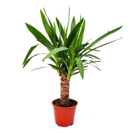 Exotenherz - Palmlilie - Yucca palme - 1 Pflanze - pflegeleicht - luftreinigend - 14cm Topf