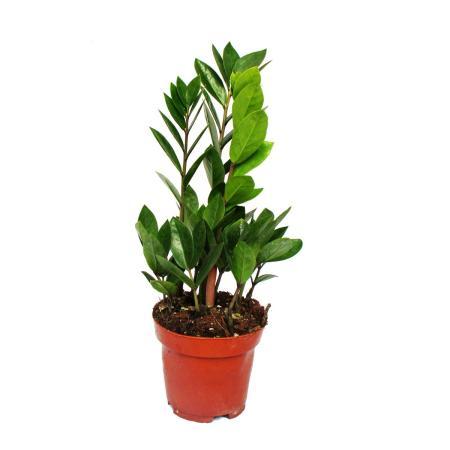 Exotenherz - Zamio Palme - Zamioculcas zamiifolia - 1 Pflanze - pflegeleicht - luftreinigend - 12cm Topf