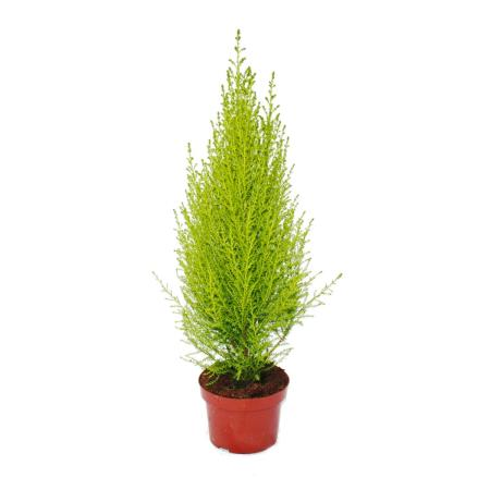 """Exotenherz - Zimmerzypresse - Cupressus macrocarpa """"Wilma"""" -  1 Pflanze - pflegeleicht - luftreinigend - 12cm Topf"""