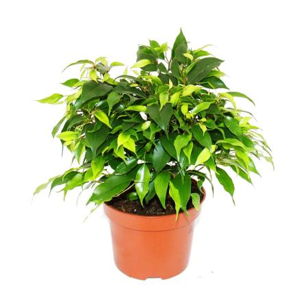 """Exotic heart - weeping fig - Ficus """"Kinky"""" - green leaves - 1 plant - easy to care for - air purifying - 12cm pot"""