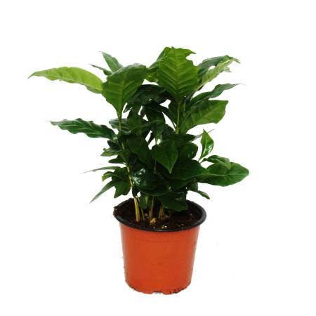 Exotic heart - coffee plant - Coffea arabica - 1 plant - easy to care for - air purifying - 12cm pot
