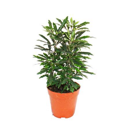 Exotic heart - finger aralia - green - Dizygotheca elegantissima - easy care - 12cm pot