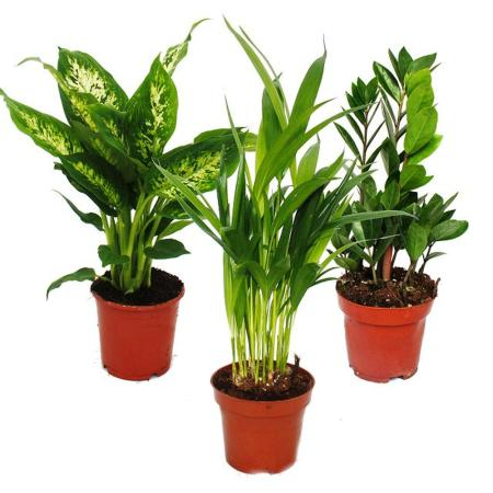 Exotic heart - indoor plant set - Dieffenbachia - Dypsis lutescens - Zamioculcas - 3 plants - easy to care for - air purifying - 12cm pot
