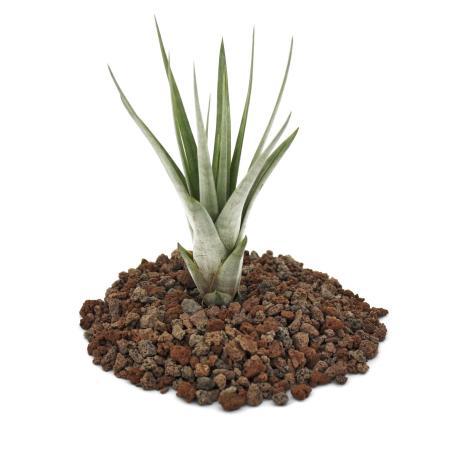 Tillandsia fasciculata - lose Pflanze - klein