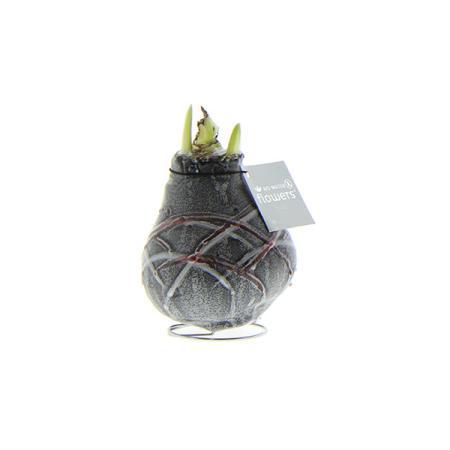 Exotenherz - Gewachste Amaryllis-Zwiebel - Van Gogh - Ritterstern - keine Pflege notwendig schwarz gemustert