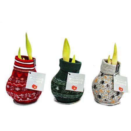 Exotic heart - amaryllis onions in Norwegian socks - knights star - the original gift idea