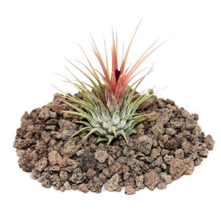 Tillandsia ionantha ionantha - loose Plant