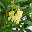 Exotic heart - strawberry tree - Arbutus unedo - Mediterranean plant - edible fruits - hardy to approx. -10 ° C