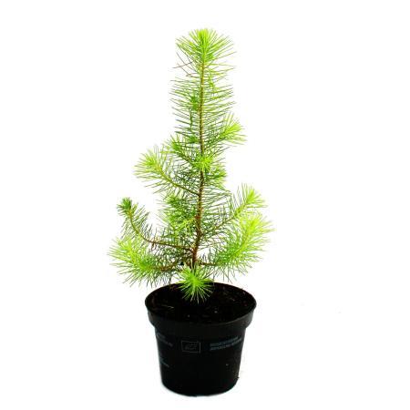 Exotic heart - The smallest Christmas tree in the world - Mediterranean pine - Pinus pinea - Indoor pine - 12cm pot