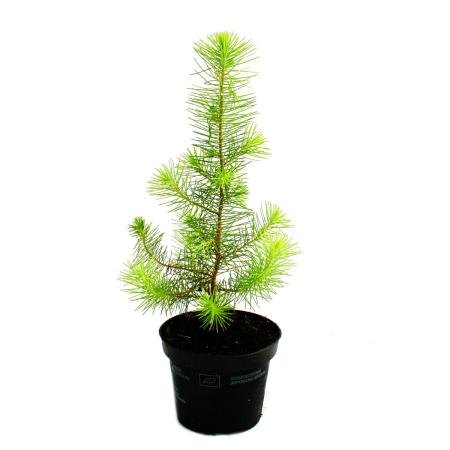 Exotenherz - Mediterranean pine - Pinus pinea - Indoor pine - 12cm pot