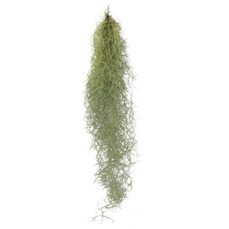 Exotenherz - Feenhaar - Louisiana-Moos - Tillandsia usneoides - hängende Tillandsie - ca. 30-40cm lang - pflegeleicht