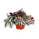 Exotenherz - three-masted flower - Tradescantia zebrina -...