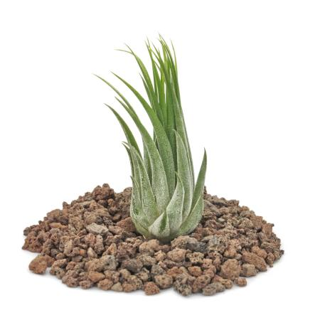 Tillandsia scarposa - lose Pflanze