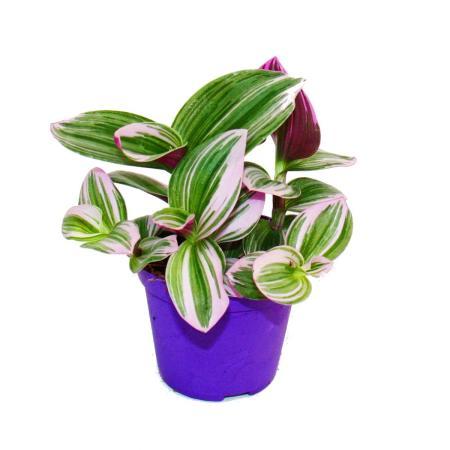 "Exotenherz - three-master flower - Tradescantia ""Nanouk"" - easy-care hanging house plant - 9cm pot - pink"