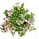 Exotenherz - three-master flower - Tradescantia...