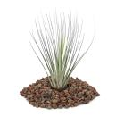 Tillandsia juncea - small Plant