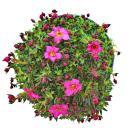 Moos-Steinbrech Pflanze - Saxifraga arendsii - rot-blühend - 12cm - Set mit 3 Pflanzen