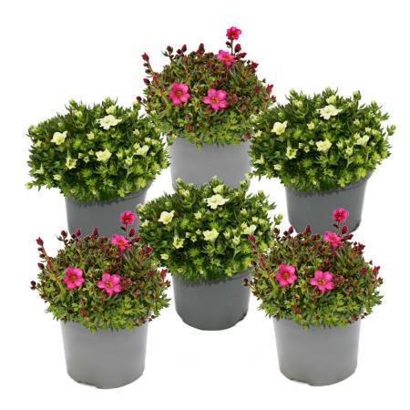 Moos-Steinbrech Pflanze - Saxifraga arendsii - rot und weiss blühend - 12cm - Set mit 6 Pflanzen