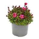 Moss saxifrage plant - Saxifraga arendsii - red and white...