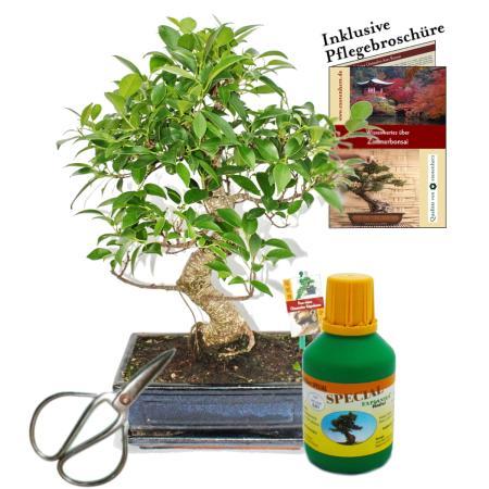 Bonsai - Chin. Feigenbaum - Ficus retusa - ca. 10 Jahre - 25cm Schale - Geschenk-Set mit Schere und Dünger