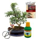 Bonsai - Szechuan pepper - Zanthoxyllum - approx. 10...