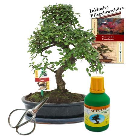 Bonsai - Chin. Ulme - Ulmus parvifolia - ca. 10 Jahre  25cm Schale - Geschenk-Set mit Schere und Dünger