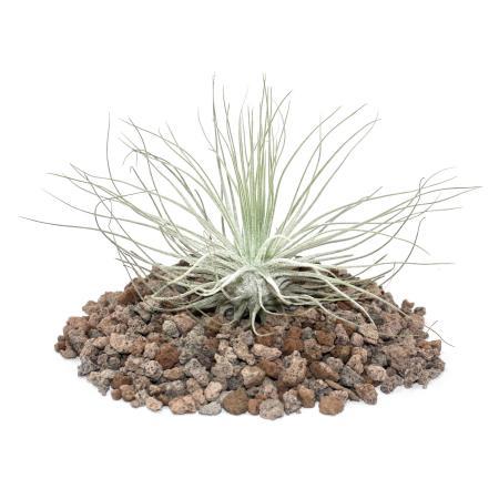 Tillandsia magnusiana - loose Plant