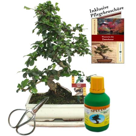Bonsai - Fukientee - Carmona microphylla - approx. 10 years - 25cm bowl - gift set with scissors and fertilizer