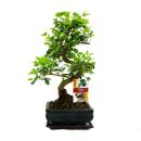 Chinese privet - Ligustrum sinensis - 6 years