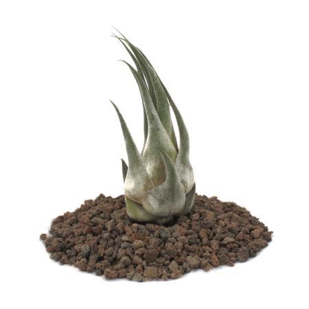 Tillandsia seleriana - small Plant