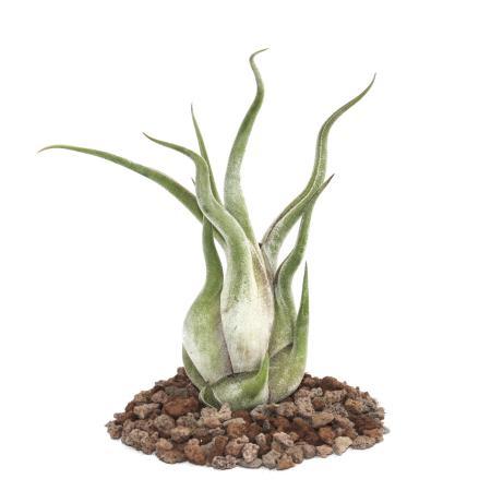 Tillandsia caput-medusae - lose Pflanze - gross