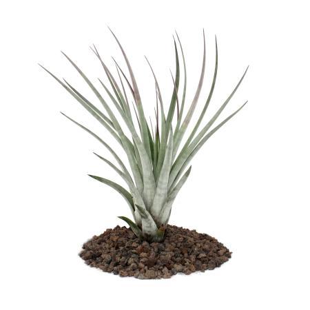 Tillandsia fasciculata - loose Plant - big