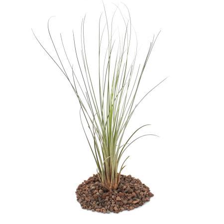 Tillandsia juncea - lose Pflanze - groß