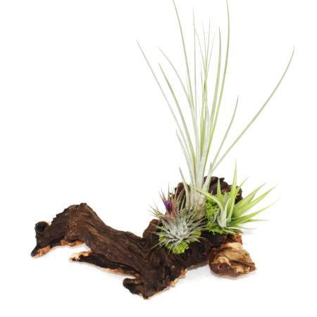 Tillandsien auf Mopaniwurzel - XL - 3 Pflanzen