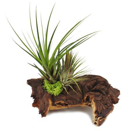 Tillandsia Arrangement on Mopaniwurzel - L - 2 plants