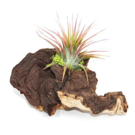 Tillandsien auf Mopaniwurzel - S - 1 Pflanze
