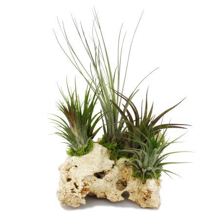 Tillandsien auf Sansibar-Rock - XXL - 5 Pflanzen