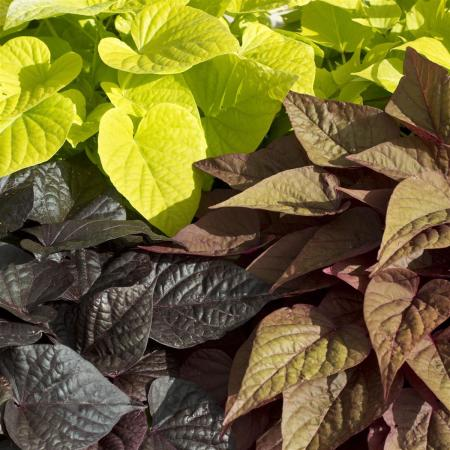 Sweet potato - bedding and balcony plant - Ipomoea batatas - 12cm - different leaf colors - set with 3 plants