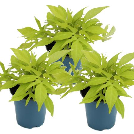 Sweet potato - bedding and balcony plant - Ipomoea batatas - 12cm - set with 3 plants - light green