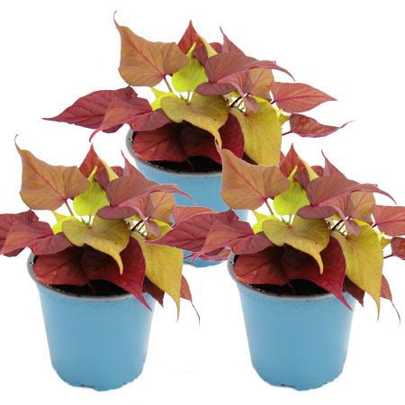 Süßkartoffel - Beet- und Balkonpflanze - Ipomoea batatas - 12cm - Set mit 3 Pflanzen - braun