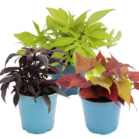 Sweet potato - bedding and balcony plant - Ipomoea batatas - 12cm - set with 3 plants - color mix
