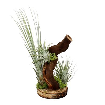 Tillandsien auf Wurzelbaum - 3 Pflanzen