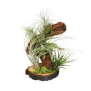 Tillandsia Arrangement on root tree - 5 plants
