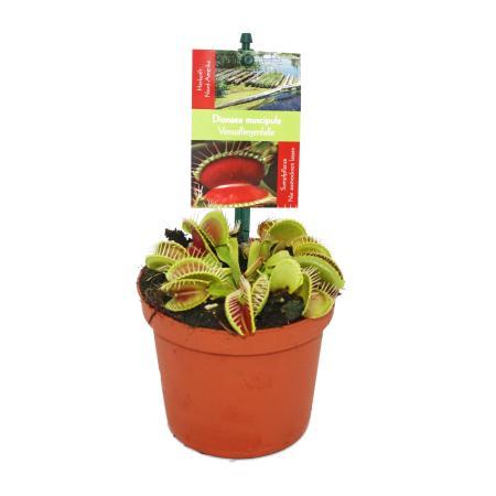 Venus Flytrap - Dionaea muscipula - 9cm pot