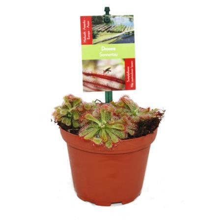 Drosera alicae - Sundew - 9cm pot