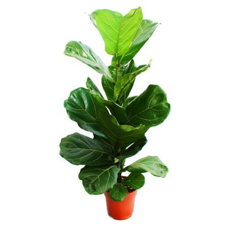 Ficus lyrata, violin fig 17cm pot