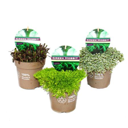 Green Hobbit Mix - Set with 3 unusual moss plants, hardy